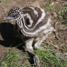 Emu chick. Blue emu are hunted for meat and oil. Do not buy Blue Emu remedy.