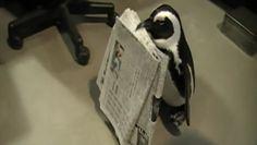 Pinguïn fetches newspaper. CUTE!