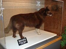 Balto (1919 – March 14, 1933) was a Siberian Husky sled dog who led his team on the final leg of the 1925 serum run to Nome, in which diphtheria antitoxin was transported from Anchorage, Alaska, to Nenana, Alaska, by train and then to Nome by dog sled to combat an outbreak of the disease.[1] The run is commemorated by the annual Iditarod Trail Sled Dog Race.