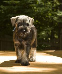 Standard Schnauzer puppy