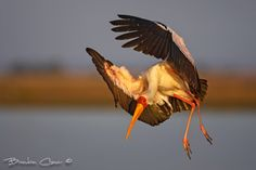 A yellow billed stork comes in to land on the banks of the Chobe river in beautiful soft early morning light. The Birdlife as well as wildlife along the Chobe River is prolific and diverse making it one of Southern Africa greatest photographic destinations.
