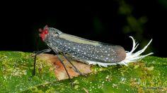 https://flic.kr/p/Tb1Jew | Fulgorid hopper, Fulgoridae | from Ecuador: www.flickr.com/andreaskay/albums