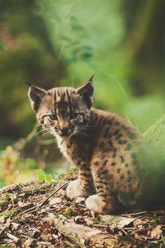 ikwt:    Bébé Lynx (Thierry Morel) |ikwt