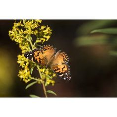 Painted Lady Butterfly (Cynthia) feeds on goldenrod Tahlequah Oklahoma United States of America Canvas Art - Robert L Potts Design Pics (19 x 12)