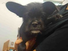 This DOG - ID#A467369 - URGENT - Harris County Animal Shelter in Houston, Texas - ADOPT OR FOSTER - I have a rescue group interested in me - 10 WEEK OLD Male Affenpinscher mix - at the shelter since Sep 02, 2016.