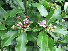 Ora-pro-nobis (pereskia aculeata, pereskia grandiflora)