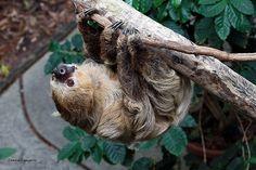 Cincinnati Zoo ... Two Toed Sloth