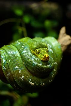 *Green tree Python* I had a green tree Python come into my dreams along with some other snakes a few years ago. It lasted  3 months of dreaming of snakes :/ Meaning: Significant transition, Spiritual transition, letting go. Transformation. Huge Life changes. Spiritual Guidance.