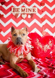 HAPPY VALENTINES DAY! American Pit Bull Terrier Dog Puppy Dogs Puppies Pitbull