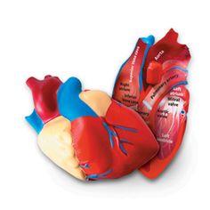 Soft Foam Cross-section Human Heart Model - Learning Resources®