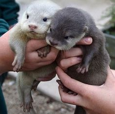 Hello small otters