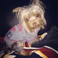This little Yorkie knows who to cheer for! #HTTR