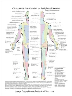 Cutaneous Innervation of Peripheral Nerves Pattern