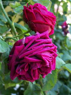 PlantFiles Pictures: Antique, Hybrid Perpetual, Old Garden Rose 'Eclair' (Rosa) by bootandall Flowers Garden, Real Flowers, Garden Plants, Planting Flowers, Black Flowers, Exotic Flowers, Pink Flowers, Bed Of Roses, Tea Roses