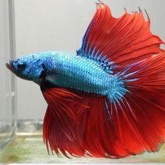 betta fish - Google Search