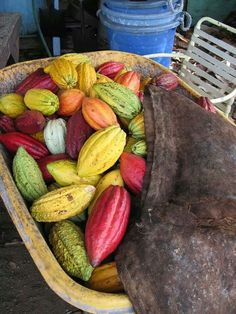""".CACAO PODS (Theobroma Cacao) - The source for delicious chocolate. The word cacao comes from the Olmec people in what is now Mexico & is believed to be the closest pronunciation to the original name of the plant. Chocolate then changed hands from the Olmec to the Mayans to the Spanish. The word cacao is the only word ever used in hispanic languages to describe what English speakers call """"cocoa,"""" which is believed to have originated from a spelling mistake."""