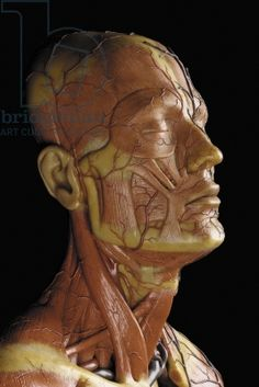 Detail of a male anatomical ecorche model, displaying muscles, arteries and veins, the circulation and nervous system (wax) (see also 469823 to Facial Anatomy, Head Anatomy, Anatomy Study, Anatomy Drawing, Anatomy Reference, Face Study, Aesthetic Clinic, Medical Anatomy, Human Anatomy And Physiology