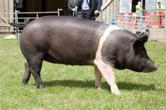 hampshire pig - Bing Images