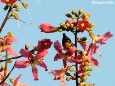 Cambacica (Coereba flaveola) fotografada em Igarapés/MG, em Abril/14.
