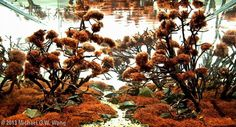"""Favourites: red moss tank by Michael G. W. Wong This red moss is called """"caloglossa cf. beccarii"""""""