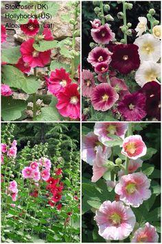 Stokroser/Hollyhocks/Alcea rosea...