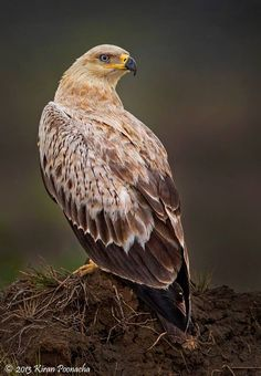 Tawny eagle (Aquila rapax). It breeds in most of Africa both north and south of the Sahara Desert and across tropical southwestern Asia to India.