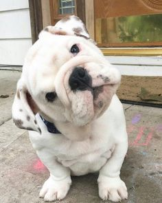 The major breeds of bulldogs are English bulldog, American bulldog, and French bulldog. The bulldog has a broad shoulder which matches with the head. Cute Bulldog Puppies, Cute Bulldogs, English Bulldog Puppies, Cute Dogs And Puppies, Baby Dogs, I Love Dogs, English Bulldogs, Baby Bulldogs, Doggies