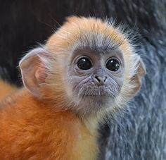 We're crushing on Sita the baby silver leaf langur. Langur babies are orange while their parents are black. It's thought this color distinction makes it easier for the whole troop to identify and look after the infants. The youngster's color usually. Cut Animals, Animals And Pets, Baby Animals, Funny Animals, Primates, Mammals, Beautiful Creatures, Animals Beautiful, Types Of Monkeys