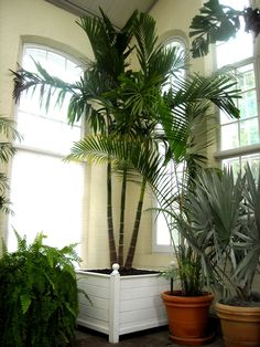 Indoor palms - Buy Real Palm Trees like this by visiting our website…