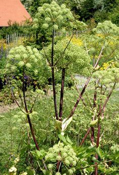 Angélique: planter et récolter – Semis et plantation de l'angélique - Les graines ne conservent que peu de temps leur faculté germinative. Achetez un plant au printemps, que vous laisserez monter à graines, pour assurer la pérennité.
