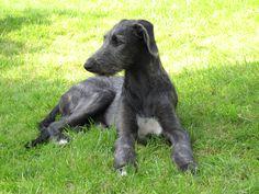 hulda - a scottish deerhound puppy
