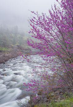 Redbud, fog, and the Merced River, Merced River Canyon, CA, USA - Michael Frye