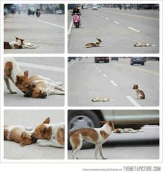 The love and loyalty of a dog... He is trying to rescue his friend who was struck down by a car and sadly died. He didn't want to leave his friend behind and braved the traffic to try and protect his friend. If only humans showed such compassion, loyalty and love - the world would be a much better place.