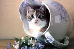 Sweet kitten in blue transferware vase