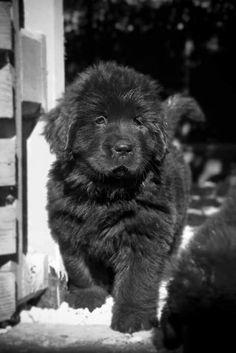 Cute puppy                                                                                                                                                     Plus #NewfoundlandDog