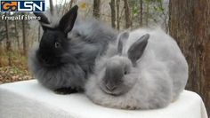 French Angora Rabbits in Cookeville, TN | Products I Love ...
