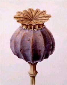 illustration of a poppy seed head – papaver somniferum. illustration of a poppy seed head – papaver Illustration Botanique, Art Et Illustration, Illustrations, Kew Gardens, Botanical Drawings, Botanical Prints, Art Floral, Impressions Botaniques, Denver Botanic Gardens