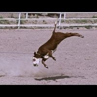 Coca-Cola: ban cattle roping in rodeos PERIOD!