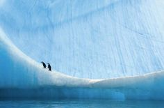 Two juvenile chinstrap penguin chicks rest on a large iceberg after taking to the sea for the first time. #penguins #environment #nature #photography by paulnicklen