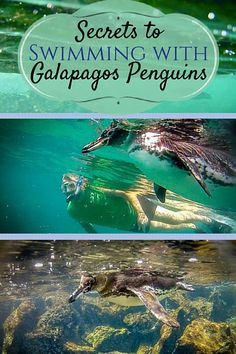 Despite their low population, seeing penguins in the Galapagos Islands isn't all that difficult. We saw them virtually every day, usually hanging out on the rocks near the water..But swimming with them? That's a different story. Our extraordinary experien