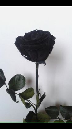 Image about black in Aesthetic af ♥︎ by dood on We Heart It Death Aesthetic, Aesthetic Roses, Aesthetic Photo, Gothic Aesthetic, Rose Wallpaper, Tumblr Wallpaper, Black Flowers, Pretty Flowers, Black Roses