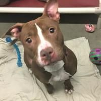 Pictures of Maybelline a American Pit Bull Terrier for adoption in Middlebury, VT who needs a loving home. Bull Terrier Mix, Pitbull Terrier, Pitbull Breeders, Dog Shaming, Staffordshire Bull Terrier, American Pit, Pit Bull, Rescue Dogs, Dog Love