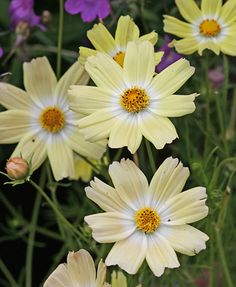 Whoa... first yellow of this type I've seen (commonly white through pink to red) Cosmos bipinnatus 'Yellow Garden'
