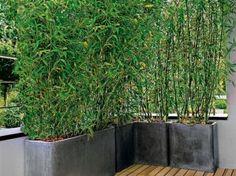 Haie de bambous en pot pour le balcon