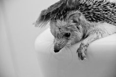 spiky the hedgehog   pets In frames photography