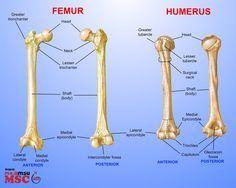 Posts about Femur on These Bones Of Mine Human Skeleton Anatomy, Human Body Anatomy, Muscle Anatomy, Basic Anatomy And Physiology, Anatomy Bones, Nursing School Prerequisites, Medical Anatomy, Medical Coding, Anatomy Study