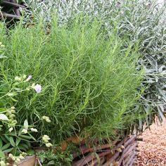 Olivenkraut 'Olivia' - 2 Pflanzen