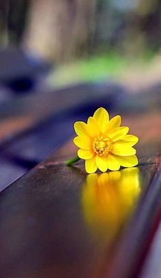 Small Yellow Wildflowers On the Bench Wallpaper - Free iPhone Wallpapers Amazing Flowers, Flowers In Hair, Paper Flowers, Wild Flowers, Beautiful Flowers, Spring Flowers, Flower Background Wallpaper, Flower Backgrounds, Yellow Wildflowers
