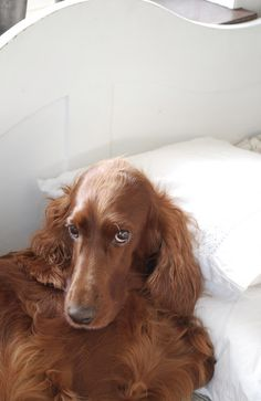 Every home should have an Irish Setter - LOPPISLIV: Wilma
