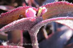 Wandering Jew Plant Care Guide - Get Busy Gardening - Modern Design House Plants Hanging, Plants For Hanging Baskets, Australian Plants, Australian Garden, Purple Plants, Colorful Plants, Wondering Jew Plant, Types Of Houseplants, Arrowhead Plant